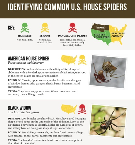 harmless or deadly how to identify common house spiders